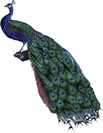 Infame's Peacock